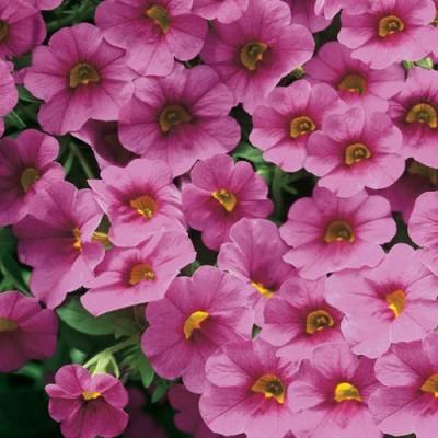 Сурфінія Trailing Pink фото