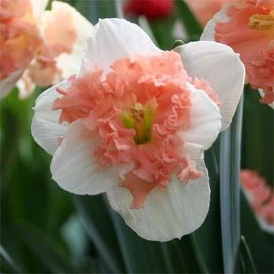 Нарцис Vanilla Peach фото