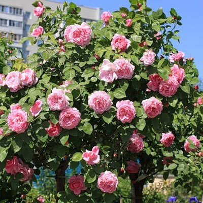 Троянда Mary Rose фото