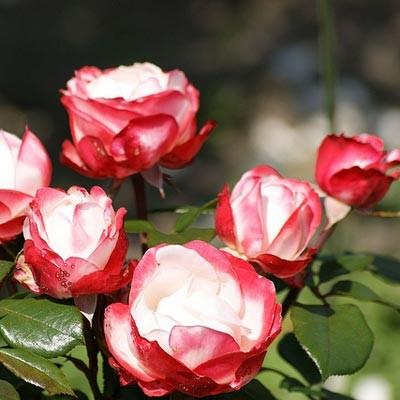 Троянда Nostalgie фото