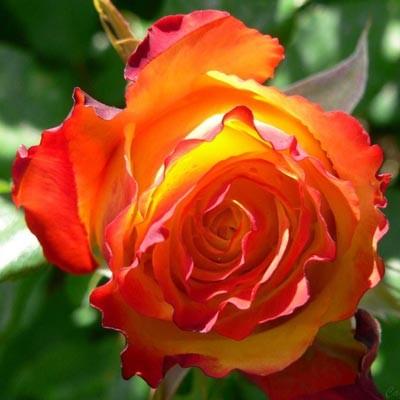 Троянда Red Gold фото