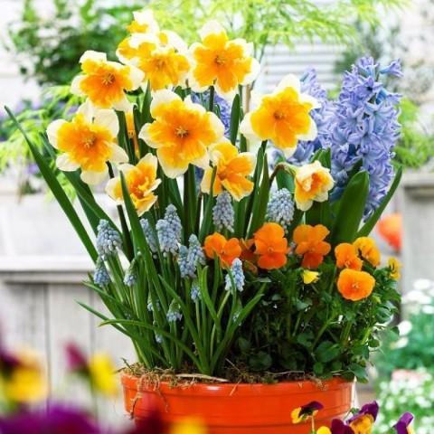 Нарцис Orangery фото