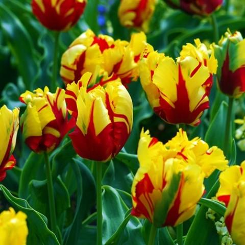 Тюльпан Texas Flame фото