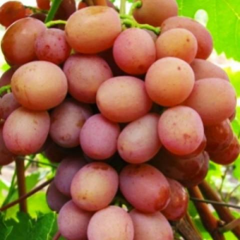 Виноград Хамелеон фото