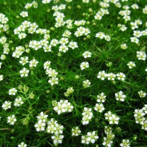 Моховинка Green Moss фото