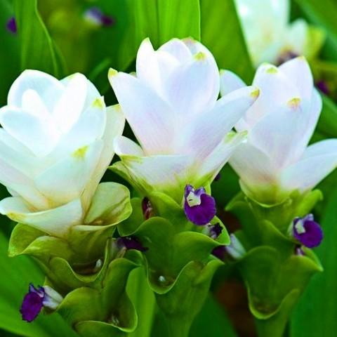 Куркума White Wonder фото