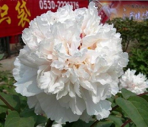 Півонія Name of The Breeder Jing Yu деревовидна  фото