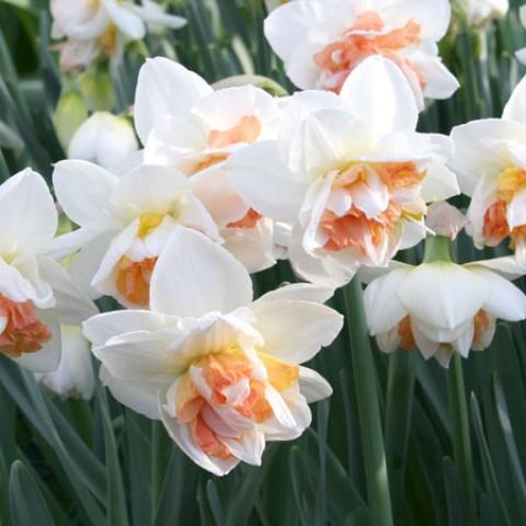 Нарцис My Story фото