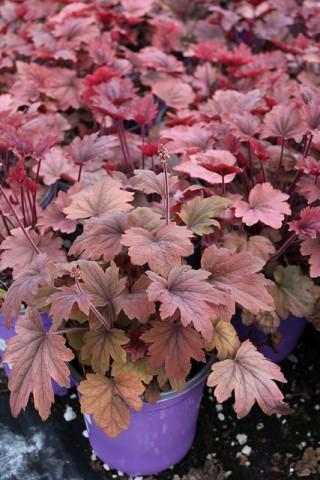 Гейхера Autumn Leaves фото