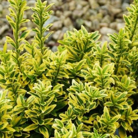 Бруслина Microphyllus Aureovariegatus фото