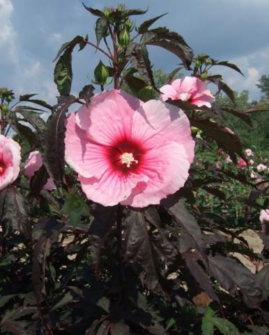 Гібіскус садовий Storm фото