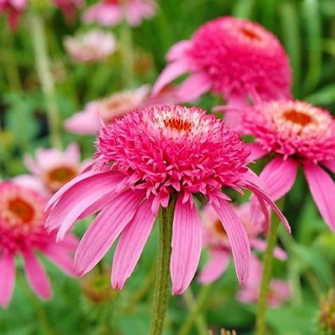 Ехінацея Pink Double Delight фото