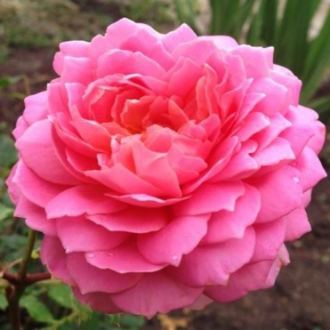 Троянда Jubilee Celebration фото