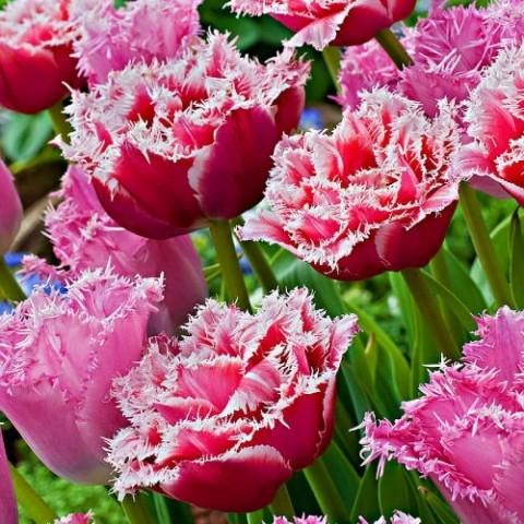 Тюльпан Brest фото