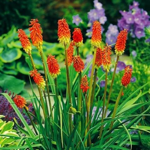 Кніфофія Uvaria Grandiflora фото