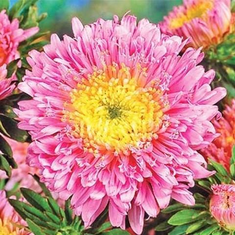 Айстра Принцеса, лососево-рожева фото