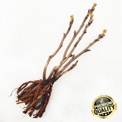 Півонія Kinko Jin Huang деревовидна фото