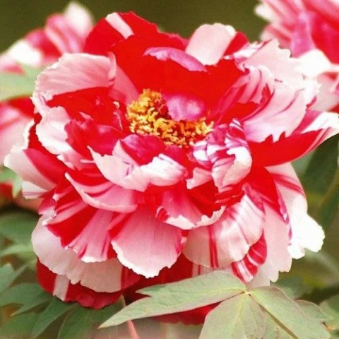Півонія Shima-nishiki Dao Jin деревовидна фото