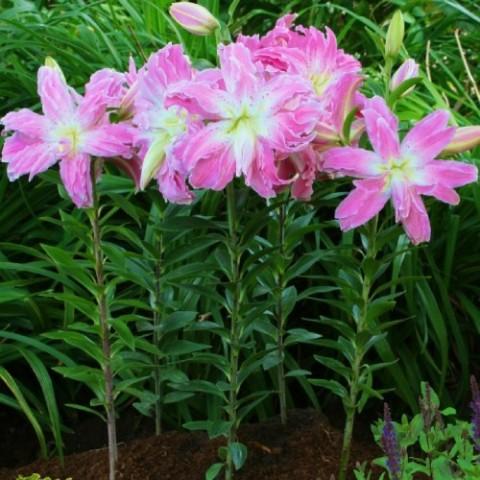 Лілія Lotus Elegance фото