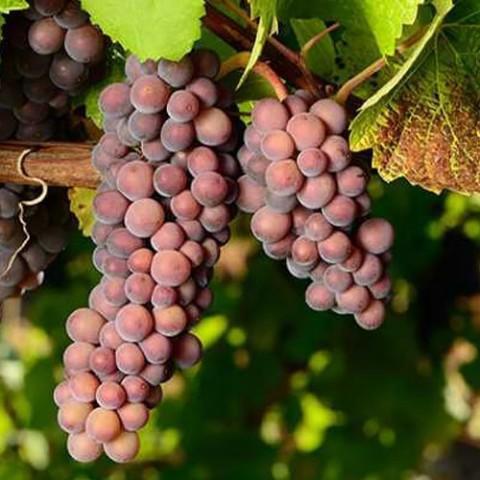 Виноград Піно Грі фото