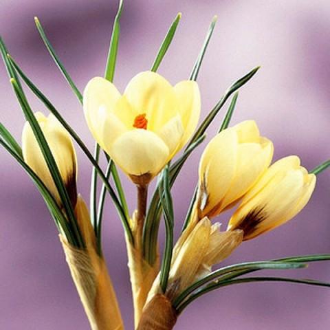 Крокус Cream Beauty фото