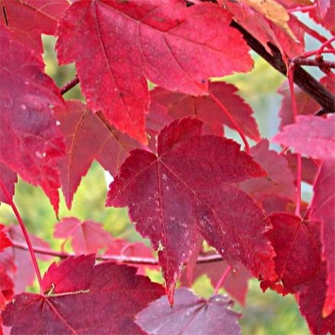 Клен червоний Burgundy Belle фото