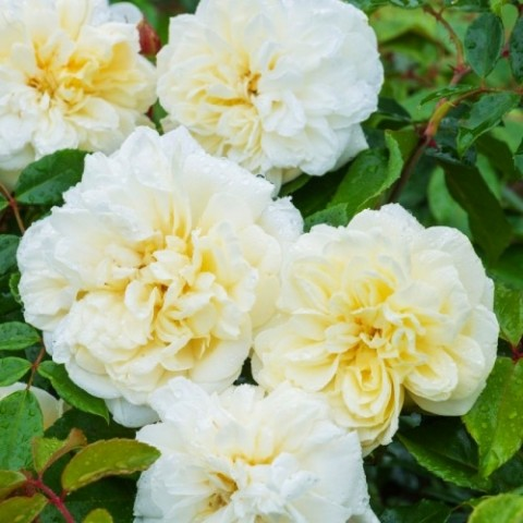 Троянда Alberic Barbier (плетиста) фото