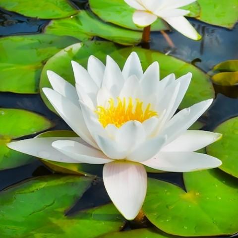 Водяна лілія Albida фото