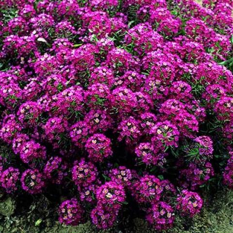 Алісум рожевий фото