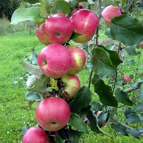 Карликова яблуня Мелба фото
