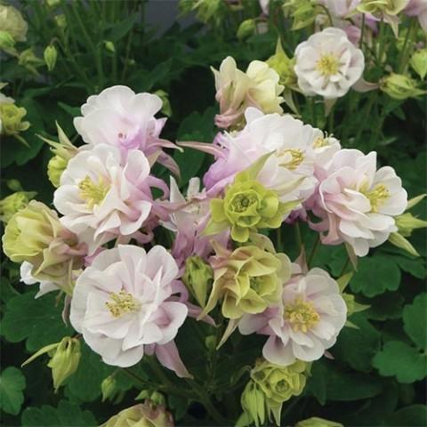 Аквілегія Winky Double Rose & White фото