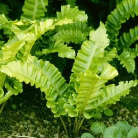 Папороть Аспленіум Undulatum фото