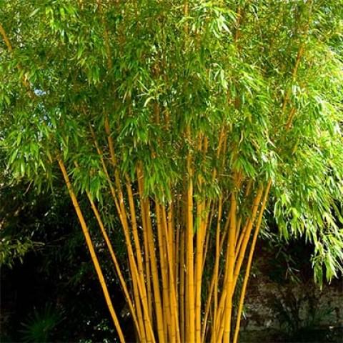 Бамбук Aureocaulis фото