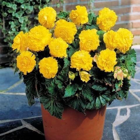 Бегонія Fimbriata Жовта фото