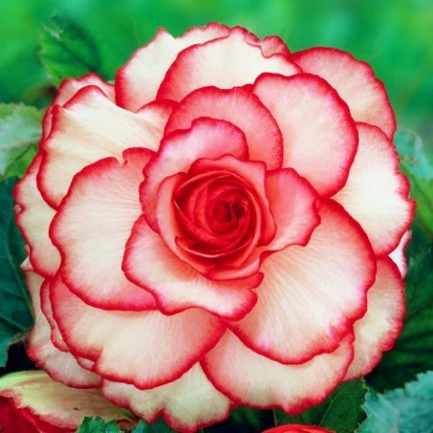 Бегонія Picotee White Red фото