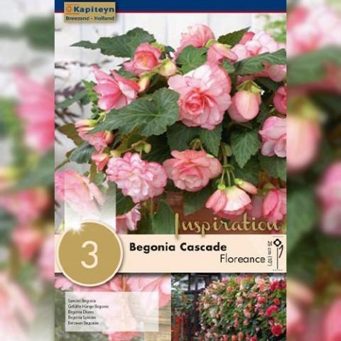 Бегонія Cascade Floreance (Брендові цибулини KAPITEYN®) фото