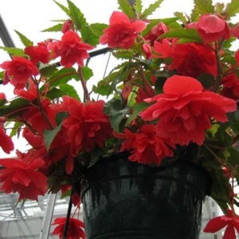 Бегонія Cascade Red фото
