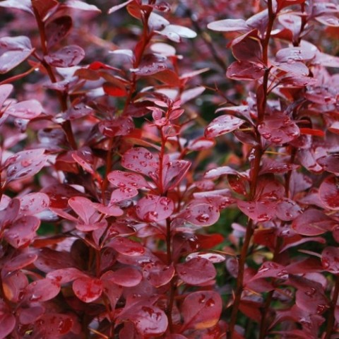 Барбарис Red Pillar фото