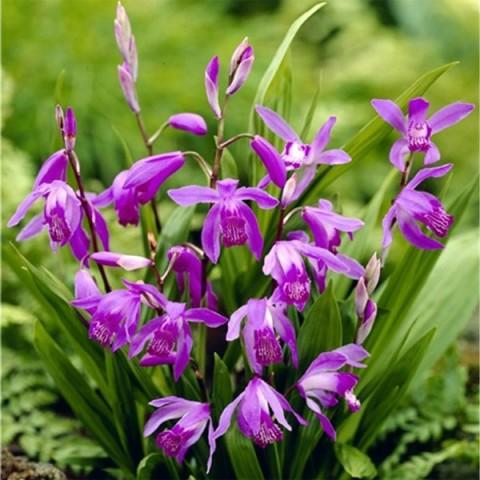 Блетілла Purple фото