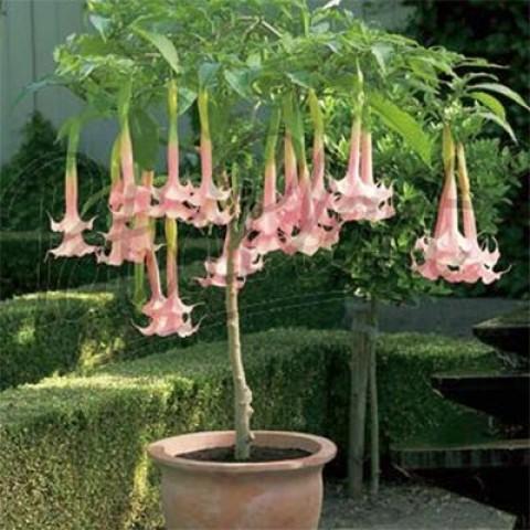 Бругмансія Twin Flowers Рожева фото