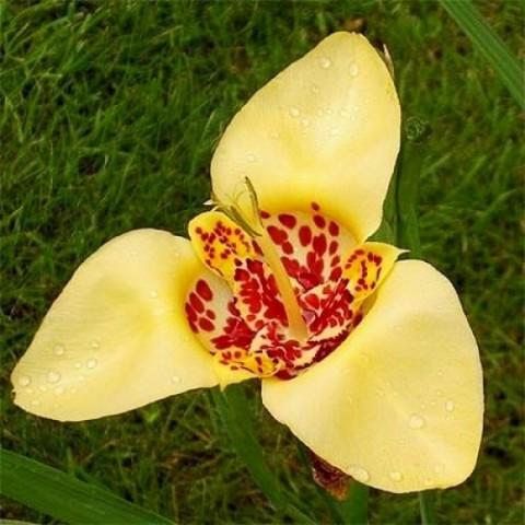 Тігрідія Canariensis фото