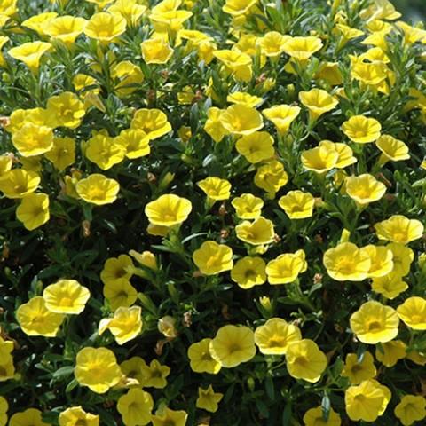 Калібрахоа MF True Yellow фото