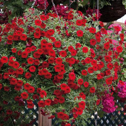 Калібрахоа MF Sangria Red фото