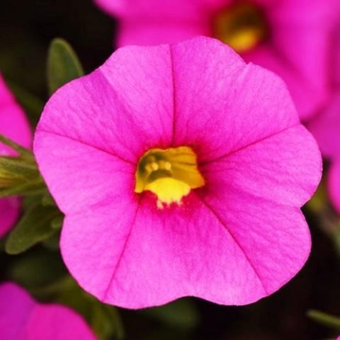 Калібрахоа MF Pink фото