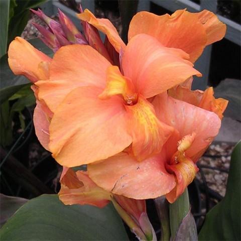 Канна Tropical Sunrise фото