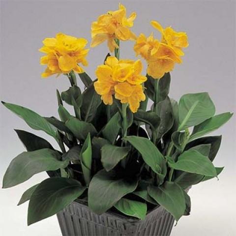 Канна Tropical Yellow (насіння) фото