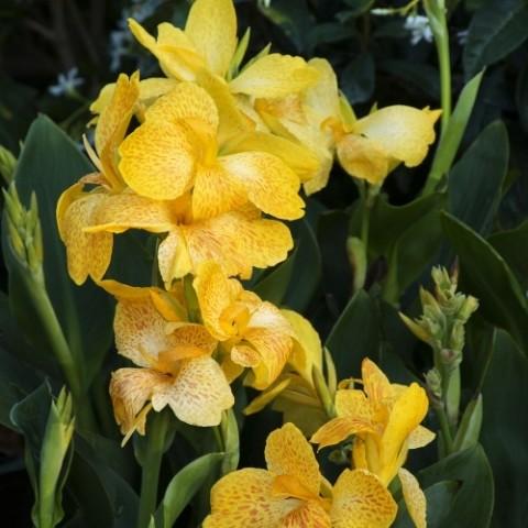 Канна Tropical Yellow фото