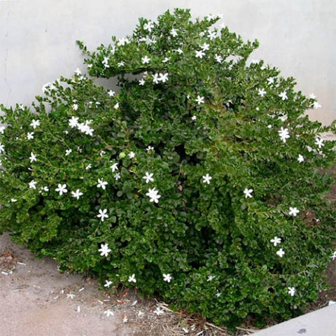 Карісса великоквіткова фото