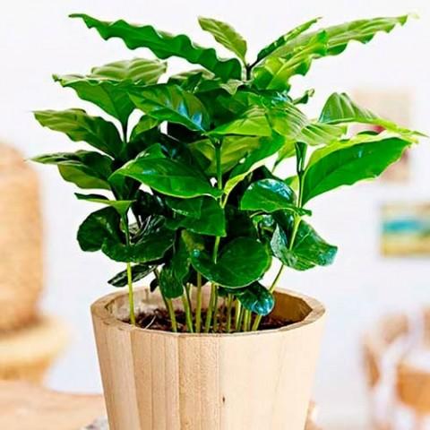 Кавове дерево Арабіка фото