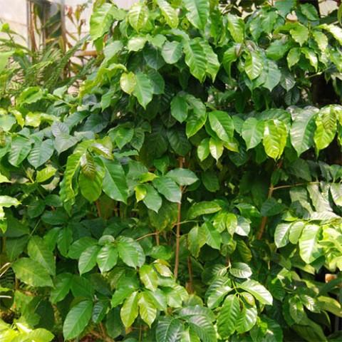 Кава аравійська фото